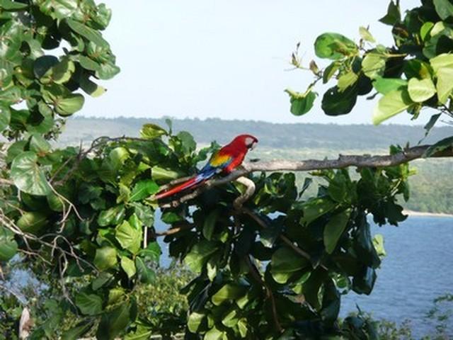 Cayo Saetia - la fauna- Ara
