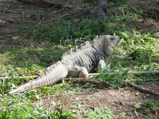 Cayo Saetia - La Fauna - Iguana
