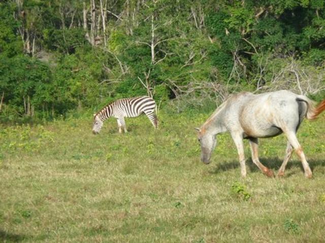 Cayo Saetia - La Fauna - zebra